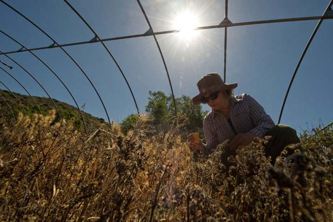 Project scientist Sarah Kimball gathers samples from an experimental plot, one of several in which UCI researchers subject local vegetation to water deprivation in order to study the results.