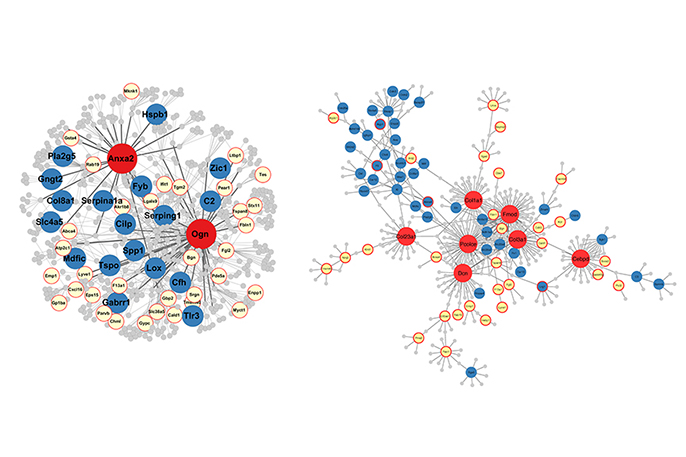 "Examples of gene networks in the hippocampus affected by brain trauma. UCLA researchers report that the ""master regulator"" genes (in red) influence many other genes responsible for the effects of brain trauma."