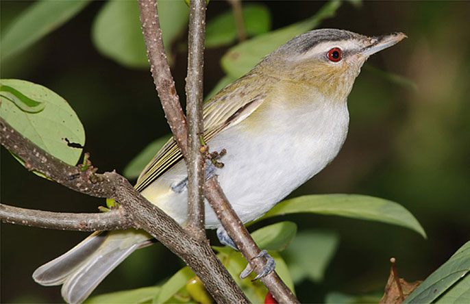 red-eyed vireo (Kelly Colgan Azar/Creative Commons)