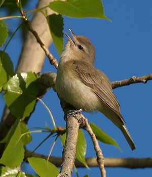 warbling vireo (Eric Bégin/Creative Commons)