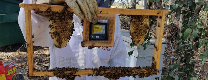 Beekeeper holding up rack filled with honeycomb and bees