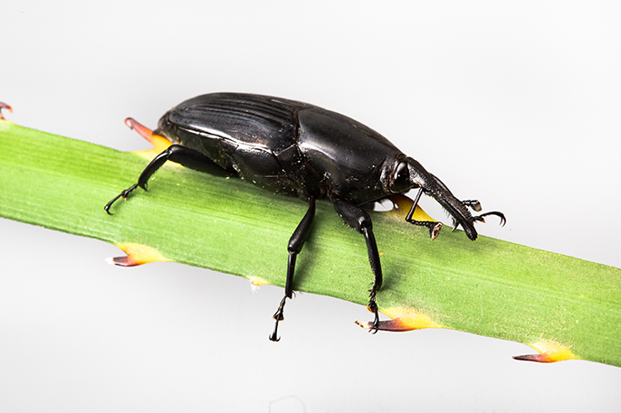 The South American palm Weevil has recently spread to San Diego County.