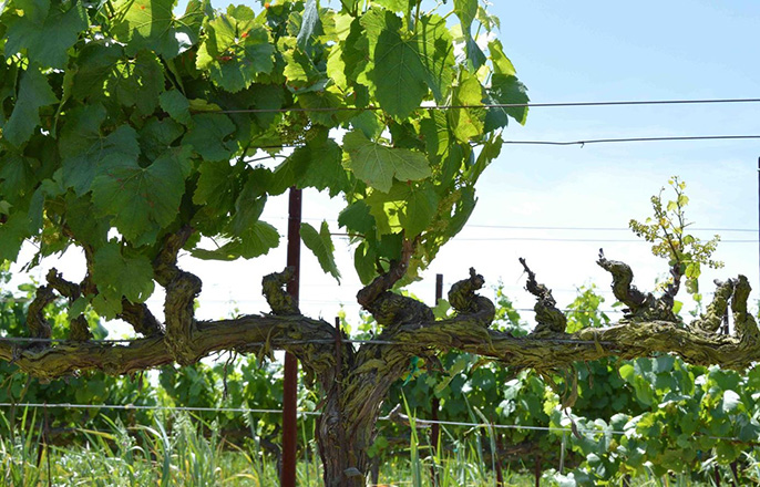Temecula-based Agrobiomics is commercializing a sealant developed by UC Riverside's Philippe Rolshausen. The sealant protects grapevines from fungal damage that is shown on the right side of this vine.