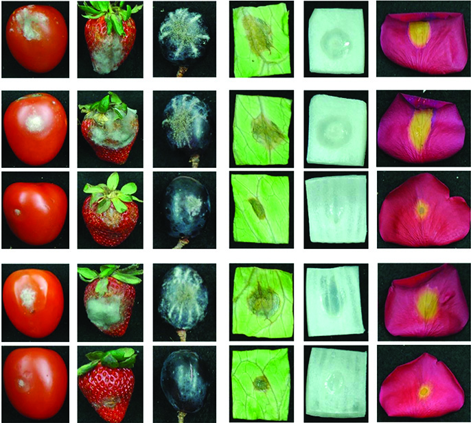 The images third from the bottom and at the bottom show fruit, vegetables and flowers treated with pathogen gene-targeting RNA molecules. The other images represent various control methods.