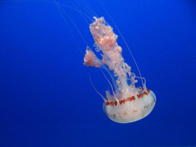 UC San Diego jellyfish noise oceans