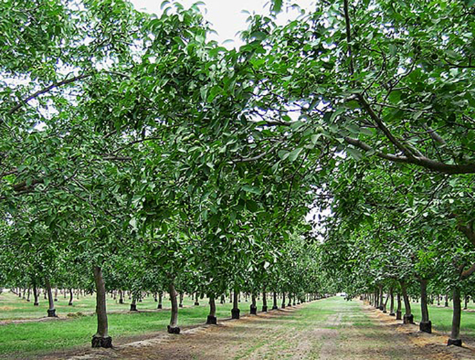 Walnuts, a top California export crop, grow in orchards like this.