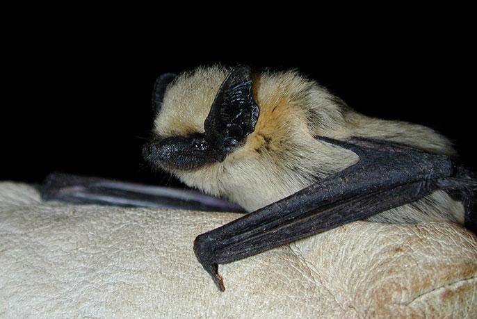 Western pipistrelle - photo#21