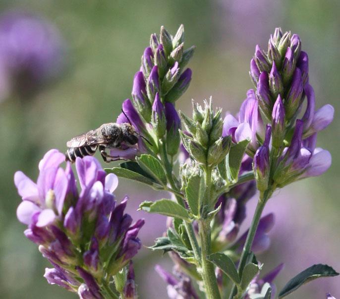 UC Riverside bacteria wild bees