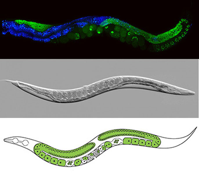 UC Santa Cruz worm composite